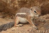 Harris Antelope Ground Squirrel (ammospermophilus Harrisii)