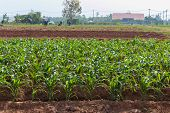 Maize Known As Corn Is A Large Grain Plant .the Leafy Stalk Produces Ears Which Contain The Grain.