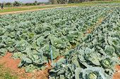 Cabbage, Brassica Oleracea Var Capitata Is A Leafy Green Plant, Grown As An Annual Vegetable Crop Fo
