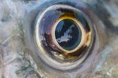 pic of fresh water fish  - Fish Eye Close Up of fresh water fish - JPG