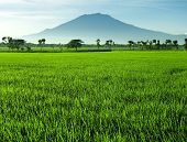 Beautiful Rice Field