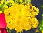 Yellow dandelions in the meadow