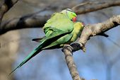 Parakeet couple
