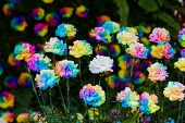 Colorful Of Rainbow Carnation Flower