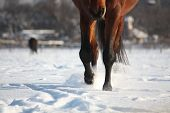 Brown Horse Walking Through The Snow