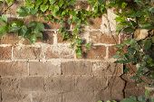 stock photo of ivy vine  - Old brick wall texture covered with green ivy creeper - JPG