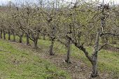 stock photo of orchard  - Rows of apple trees blooming on a countryside orchard during springtime - JPG