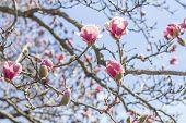 foto of magnolia  - Beautiful spring bloom for magnolia tulip trees pink flowers - JPG