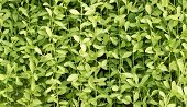 stock photo of creeper  - Background Pattern Beautiful Horizontal Green Creeper Plant or Dischidia Nummularia Variegata Background - JPG