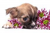 picture of chiwawa  - cute chihuahua puppy portrait with pink chrysanthemums flowers close - JPG