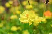 picture of cosmos flowers  - yellow cosmos flower blossom in the garden - JPG