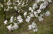 image of may-flower  - White flowers apple spring day in May - JPG