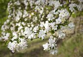 stock photo of may-flower  - White flowers apple spring day in May - JPG