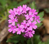 pic of prairie  - Purple Prairie Verbena in its native habitat in spring - JPG