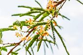 stock photo of tamarind  - There are flowers of tamarind and tamarind leaves - JPG