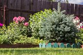 stock photo of dwarf  - dwarf spruce on a lawn on a background of flowers - JPG
