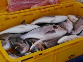 pic of kindness  - Various kinds of fresh fishes displayed in a container of a fisherman on the market of Kastel Novi in Croatia - JPG