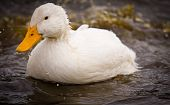 White Duck Splashing Water