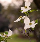 foto of dogwood  - Dogwood flower with a blurred background from Pittsburgh - JPG