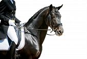pic of white horse  - dressage horse portrait on white before the competition - JPG