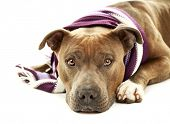 foto of american staffordshire terrier  - American Staffordshire Terrier with colorful scarf isolated on white - JPG