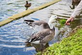 picture of eat grass  - A pair of geese eating grass from the hands of a man on the shore of the pond - JPG