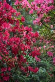stock photo of azalea  - View looking through a thicket of red and pink azalea bushes - JPG