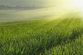 picture of southern  - Sunny green grass  field  Southern Moravia, Czech republic