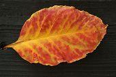 Autumn Leaf On Dark Wood
