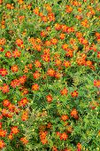 picture of marigold  - A background of a single type flowering marigold with lacey foliage known as a signet marigold - JPG