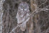 stock photo of snow owl  - A lone Great Grey Owl in a winter scene - JPG