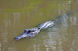 image of alligator  - Wild alligator swimming in the swamp land of Louisiana - JPG