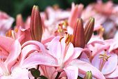 ������, ������: Easter Lily Longflower Lily