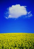 Oilseed Rape Field With Fluffy Cloud poster