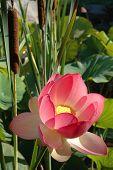 Lotus & Bullrush