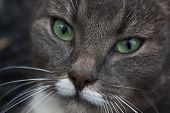 Постер, плакат: green eyed cat