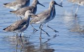 Winter Willet.