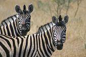 Zebra Pair - Equus Burchelli