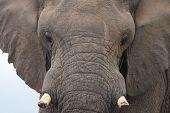 African Elephant Bull 2