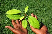 stock photo of avocado tree  - Two young black hands of an African American woman holding the green leaves of a well growing Avocado plant with grass background outdoors in spring 