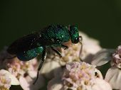 cuckoo wasp feeding on yarrow flowers macro