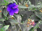 Hawaii Big Island Blue Jungle Flower 2