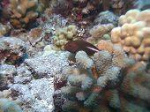 stock photo of hawkfish  - An Arc Eye Hawkfish makes his home on a Maui reef in Hawaii - JPG