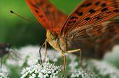 Heliconiinae (longwings)