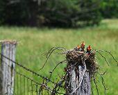 Fence Row Robins