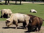 2 White Bison And 2 Brown Bison