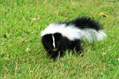 stock photo of stinky  - A baby skunk on green grass looking directly at the camera - JPG