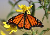 image of monarch butterfly  - Monarch Butterfly gathering nectar from yellow flowers - JPG
