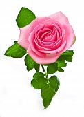 pic of pink rose  - Closeup of pink rose petails covered dew - JPG