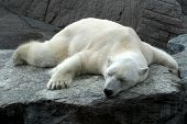Polar Bear Is Sleeping